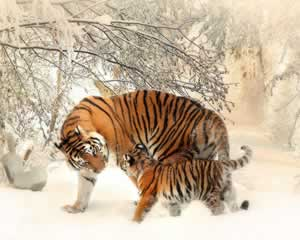 Tigers in the snow picture and jigsaw